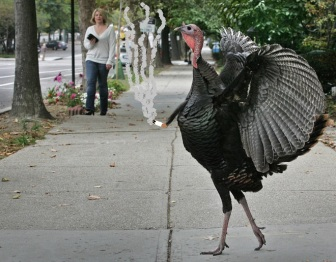BROOKLINE, MA - OCTOBER 19: A wild turkey tom crosses the sidewalk on Beacon Street. (Photo by Mark Wilson/The Boston Globe via Getty Images)