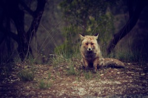 fox-692081_1280